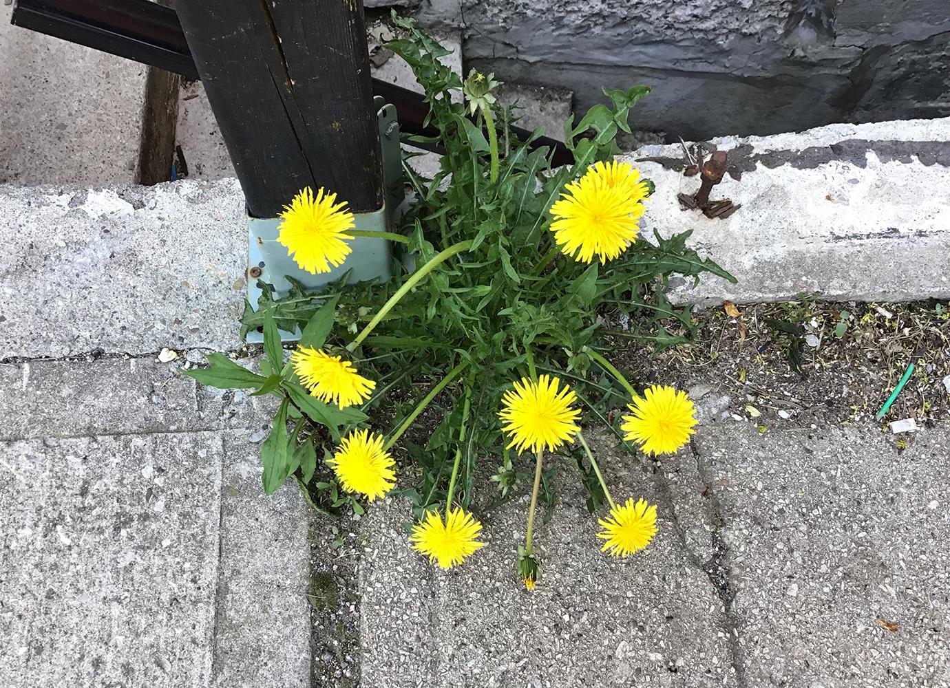 Plant living in my neighborhood (sidewalk), Spring 2020