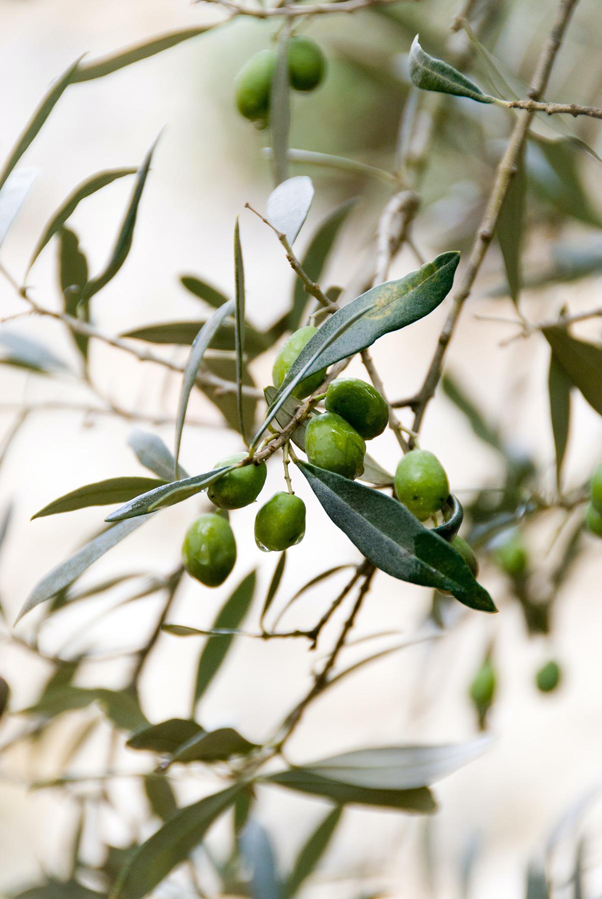 Olives, courtesy of the writer, Yasmine Dalloul