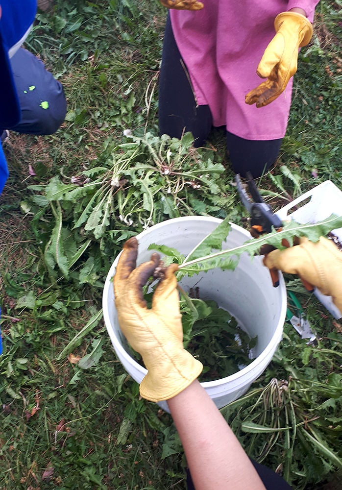 Harvesting leaves with volunteers at Iceland Urban Agriculture Teaching Garden in Mississauga, Summer 2019