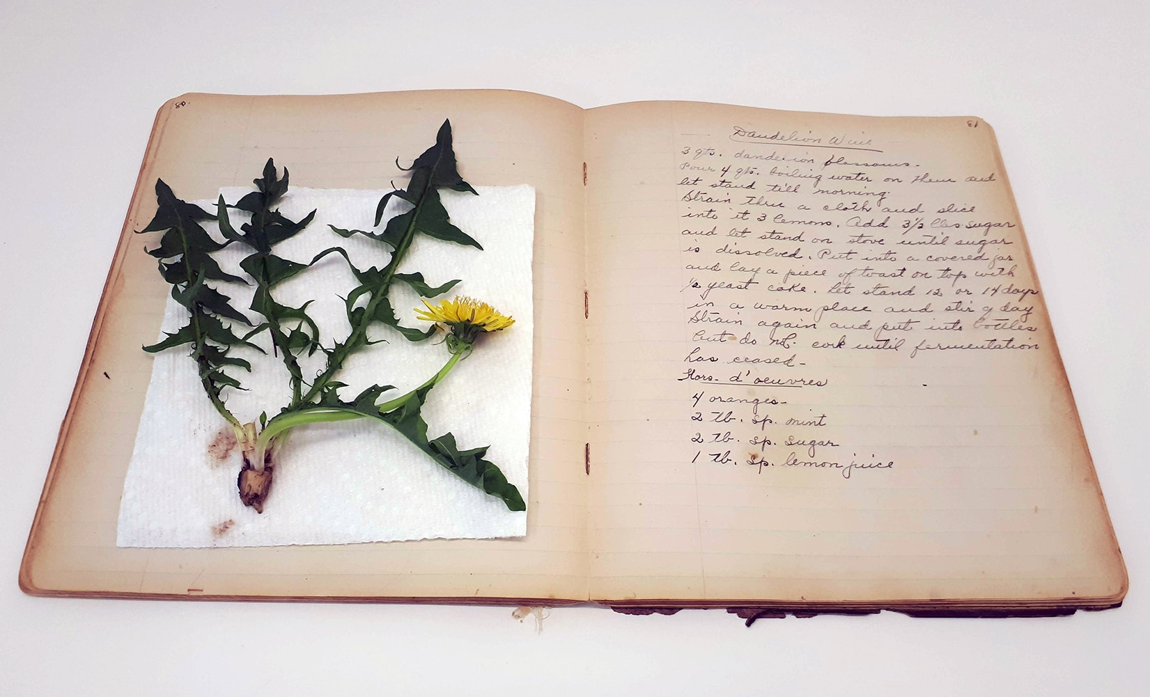 Great Grandmother's dandelion wine recipe, with plant,  Spring 2019